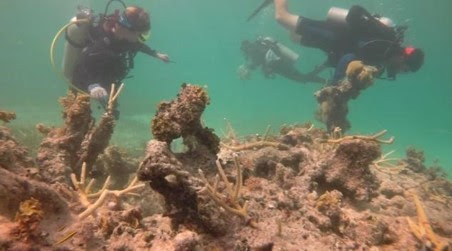 Divers at Puntacana Resort & Club in the Dominican Republic establish new coral transplant sites. Credit: Grupo Puntacana Foundation