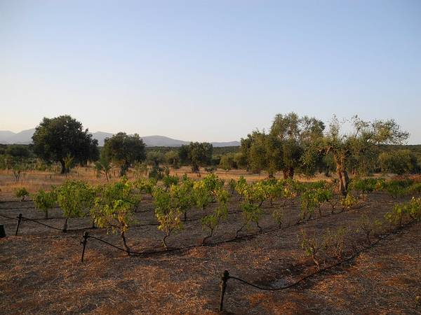 2o1: A small part of our organic grape vines surrounded by olive trees and baby almond trees