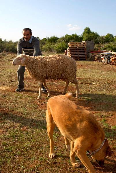 4h: Michalis, one of our staff members, working with the sheep