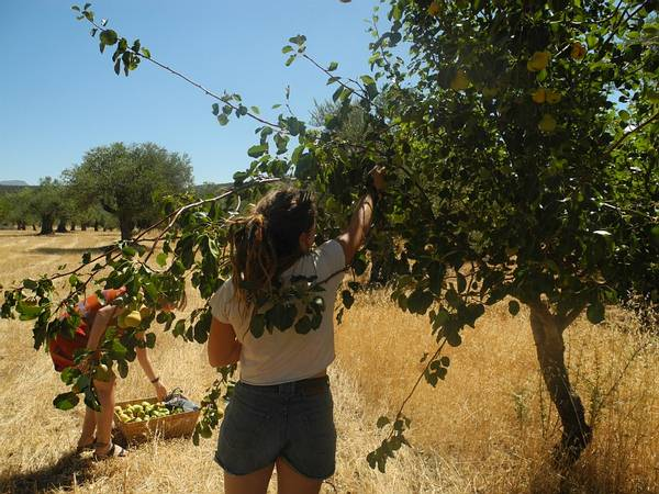 4k2: Volunteers picking pears off our organic wild pear trees.