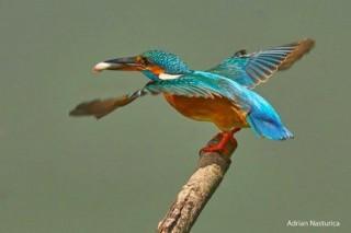 Kingfisher - photo by Adrian Nasturica