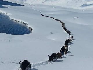 Yaks of Broghil, The Wakhan Corridor, Pakistan