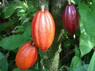 Visit the Toledo Cacao Festival, Belize 24-26 May