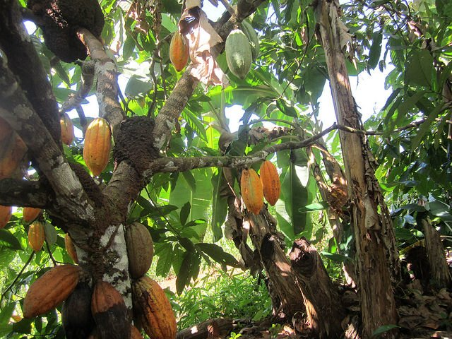 A cacao tree laden with beans, in the shade of banana trees on the Wronski family farm in Medicilândia, a municipality in the Brazilian Amazon rainforest state of Pará, where organic farmers are helping to reforest the jungle. Credit: Mario Osava/IPS