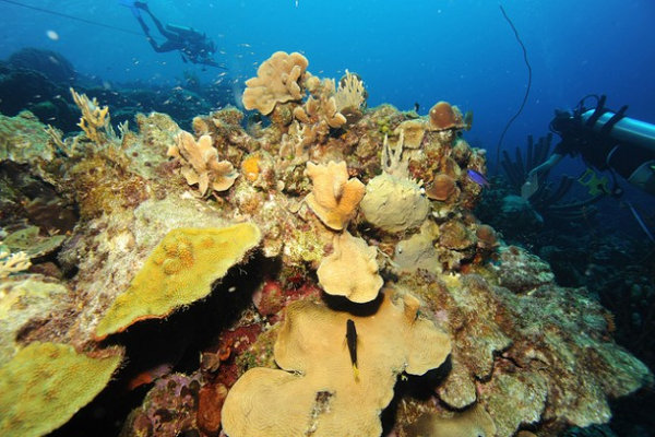 At this Bonaire reef, the olive-green coral is alive, but the mottled-gray coral is dead. Credit: Living Oceans Foundation/IPS