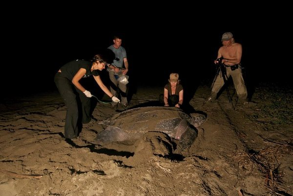 SEE Turtle night patrol in leatherback turtle nesting beach in Costa Rica.