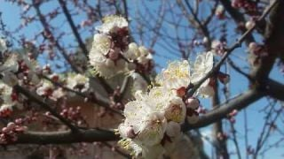 Spring Blossom at its Best