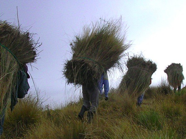 Collecting paramo grass to thatch the roof of the Black Sheep Inn bunkhouse.