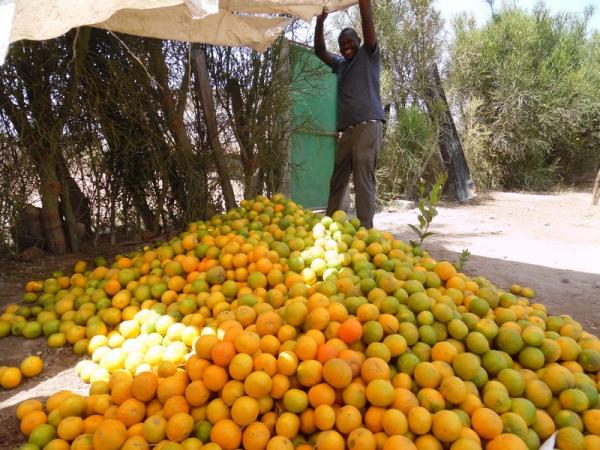 Harvest time at our orange farm a few miles away from the lodges